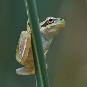 Southern tree frog